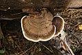 Ganoderma spp 8130.jpg