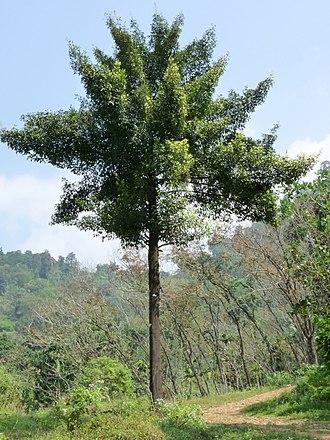 Garcinia gummi-gutta - Garcinia gummi-gutta tree in Kerala, India