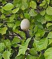 Gardenia thunbergia, San Diego Zoo.jpg