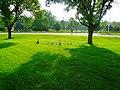 Geese and Goslings - panoramio.jpg