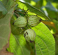 Geiger Tree (Cordia sebestena) fruits in Hyderabad, AP W 270.jpg