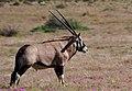 Gemsbok (Oryx) (2745839483).jpg