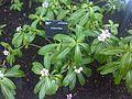 Gentianales - Catharanthus roseus - kew 1.jpg