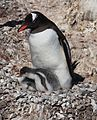 Gentoo Penguin with chicks (6122417665).jpg
