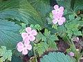 Geraniales - Geranium robertianum - 3.jpg