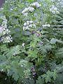 GeraniumPhaeum-plant-kl.jpg
