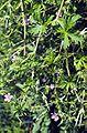 Geranium bicknellii.jpg