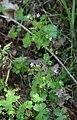 Geranium lucidum.jpg