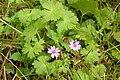 Geranium molle (7914496468).jpg
