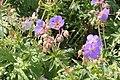 Geranium sylvaticum, metsäkurjenpolvi 1 (Finland).jpg