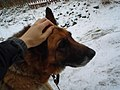German Shepherd (aka Alsatian and Alsatian Wolf Dog), Deutscher Schäferhund (Folder (IV) 02.JPG