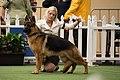 German Shepherd Judjing, Royal Adelaide Show 2014 (15048147398).jpg