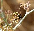 German Wasp. Vespula germanica (33402564941).jpg
