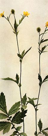 Geum aleppicum WFNY-098A.jpg