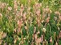 Geum triflorum var. triflorum fruiting heads (3478828678).jpg