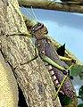 Giant.sa.grasshopper.arp.jpg