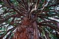 Giant Sequoia Tree (Polk County, Oregon scenic images) (polDA0020).jpg
