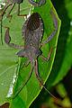 Giant Squash Bug (Prionolomia sp.) (23239608430).jpg