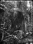 Giant gum tree, Gosford (2514728051).jpg
