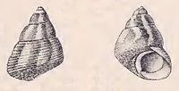 Gibbula stoliczkana 001.jpg
