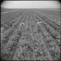 Gila River Relocation Center, Rivers, Arizona. A view of cauliflower, which is being grown for its . . . - NARA - 537071.tif