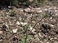 Gilia brecciarum brecciarum 56633582.jpg
