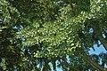 Ginkgo biloba tree (Celina, Ohio, USA) 2 (49047732482).jpg
