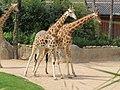 Giraffe (26572546334).jpg
