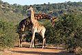 Giraffes necking (13945117250).jpg