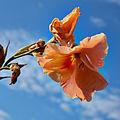 Gladiolus hortulanus 'Trader Horn'-IMG 9259.jpg