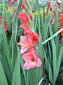 Gladiolus hybridus.jpg