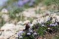 Globularia cordifolia ^ fjäril-4128 - Flickr - Ragnhild & Neil Crawford.jpg