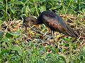 Glossy ibis mumbai.jpg