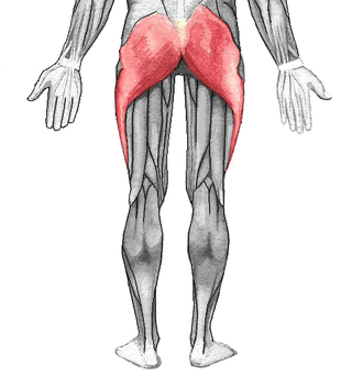 Gluteal muscles - Gluteus maximus