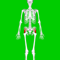 Gluteus minimus muscle04.png