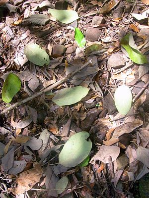 Gmelina leaves forest floor.JPG