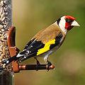 Gold Finch.jpg