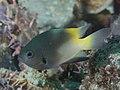 Goldback damsel (Pomacentrus nigromanus) (48652010446).jpg