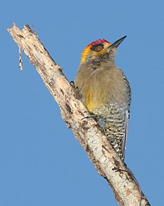 Golden-cheeked Woodpecker 2.jpg