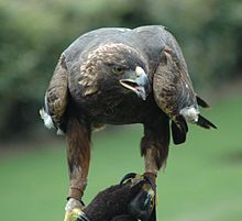 Golden Eagle - Wikipedia, the free encyclopedia