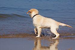 Golden Retriever Carlos in der Nordsee (10577202535).jpg