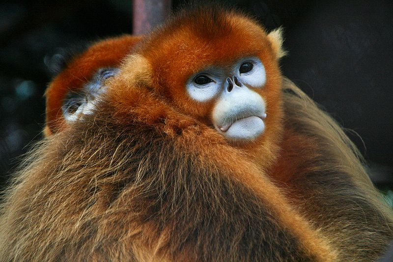 ファイル:Golden Snub-nosed Monkeys.jpg