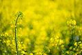 Golden field (8691241576).jpg
