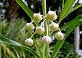 Gomphocarpus physocarpus - McKee Botanical Garden - Vero Beach, Florida - DSC02943.jpg