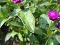 Gomphrena globosa (Gomphrena) leaf.JPG