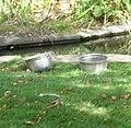 Goose dishes (5079272912).jpg