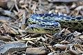 Gopher Snake (11970141595).jpg