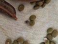 Gorgojo de la subfamilia Bruchinae.jpg