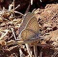 Gram Blue. Male. Euchrysops cnejus. Lycaenidae - Flickr - gailhampshire.jpg