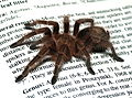 Grammostola.rosea.on.book.jpg